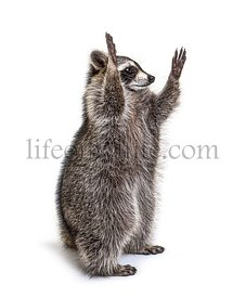 Racoon on hind legs, trying to reaching up