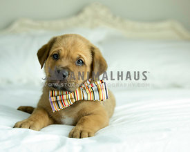 Fawn puppy lay on white bedding wearing striped bow tie