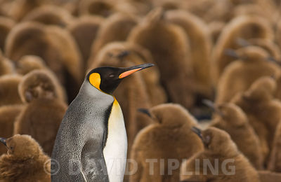 King Penguin Aptenodytes patagonicus adult surrounded by chicks Gold Harbour South Georgia November