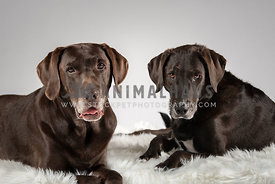 2 lab mixes laying on a white shaggy rug staring at camera