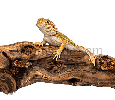 Pogona on a branch, isolated on white