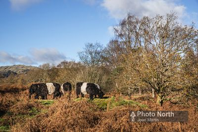 HAWKSHEAD 52A - Belted Galloway cattle