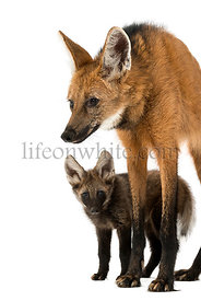 Maned Wolf mom and baby standing, Chrysocyon brachyurus, isolated on white