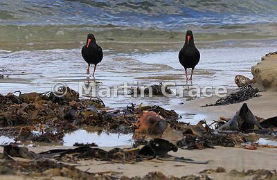 Two Dark morph Variable Oystercatchers (Black Oystercatcher) (Haematopus unicolor) with kelp on Butterfield Beach, Stewart Is...
