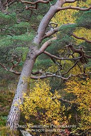 Image - Scots Pine Tree.  Native Caledonian Pinewood Regeneration, Coulin Estate, Torridon, Wester Ross, Highland, Scotland