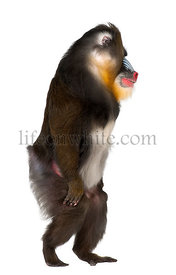 Mandrill walking, Mandrillus sphinx, 22 years old, primate of the Old World monkey family against white background