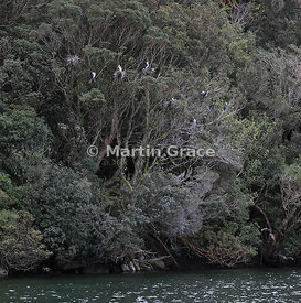 Small nesting colony of Pied Shags (Phalacrocorax varius varius) in a tree, Stewart/Rakiura & Ulva Islands, South Island, New...