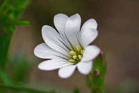 Closeup on the white flower of a  field mouse-ear or chickweed, Cerastium arvense