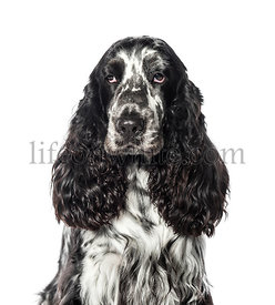 Cocker in front of white background
