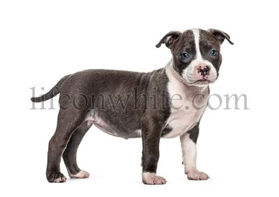 Side view of a young puppy American Bully standing, isolated