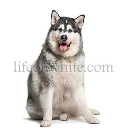 Alaskan Malamute sitting in front of white background
