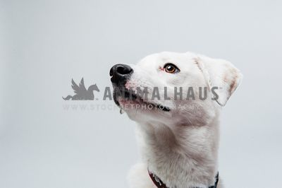 A close up of a white dog on a white background in the studio