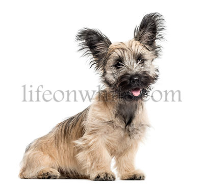 Skye Terrier dog sitting isolated on white