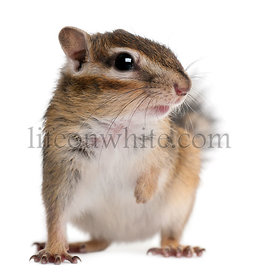 Close-up of a Siberian chipmunk, Euamias sibiricus, in front of white background