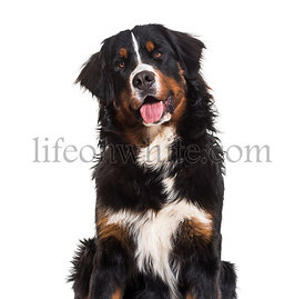 Bernese Mountain Dog, 10 months old, sitting against white background