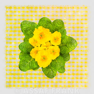 Directly above shot of Primroses on checkered background