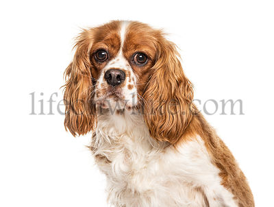 Headshot of a Cavalier King Charles, isolated on white