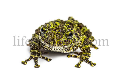 Mossy frog, Theloderma corticale, isolated on white
