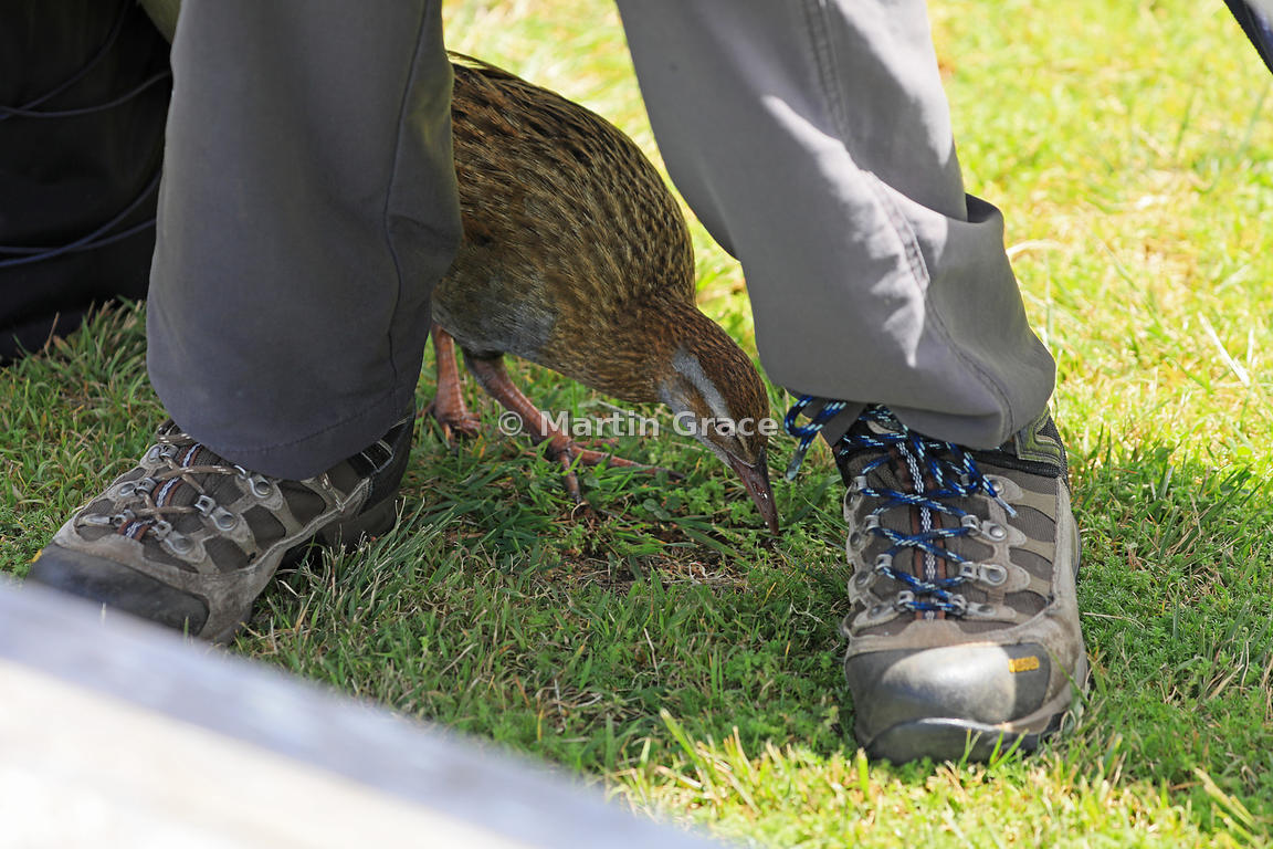 North Island Weka (Gallirallus australis greyi) forages between a tourist's feet below a picnic table, Kapiti Island, North I...