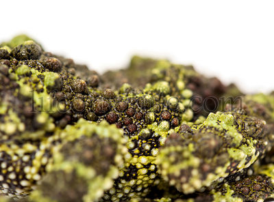Close-up of a Mossy frog, Theloderma corticale, isolated on white