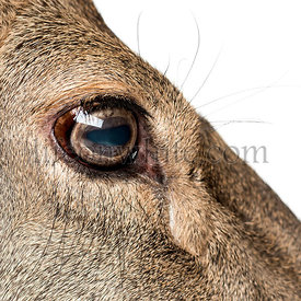 Close-up on the eye of a female red deer in front of a white background