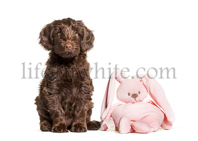 Australian Labradoodle and toy, 2 months old, sitting in front of white background