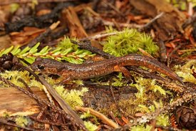 The common Ensatina, Ensatina eschscholtzii oregonensis from North oregon
