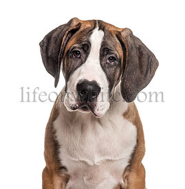 Portrait of a young Great Dane, isolated on white