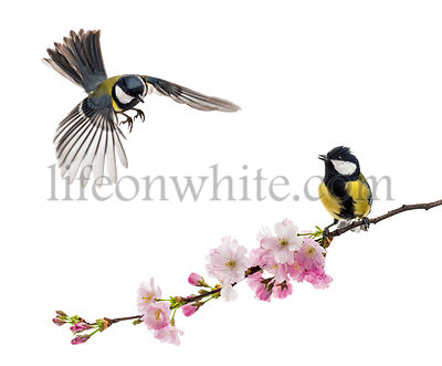 two great tit one flying and the other perched on a flowering branch, Parus major, isolated on white