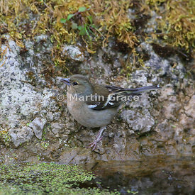 Common Chaffinch (Fringilla coelebs) female at the edge of the garden pond, Lake District National Park, Cumbria, England