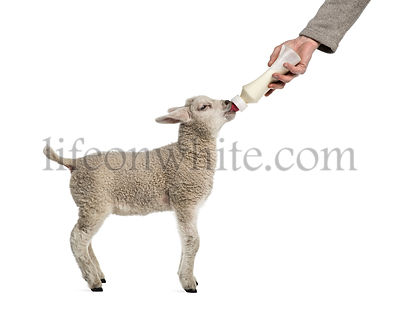 Lamb suckling a bibber (8 weeks old) isolated on white