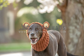 dark brown hound mix wearing a bear snood