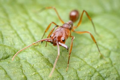 Rough-node snapping ant
