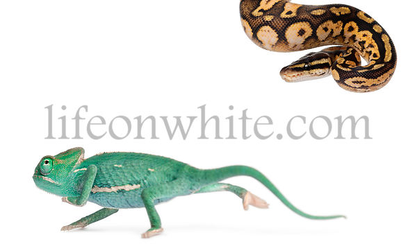 Young veiled chameleon, Chamaeleo calyptratus, running from a Male Pastel calico Royal python, Python regius, 11 months old, ...