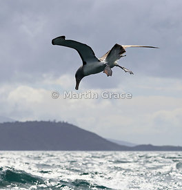 Salvin's Mollymawk (Salvin's Albatross) (Thalassarche salvini) hovering prior to landing on the sea, Stewart/Rakiura & Ulva I...