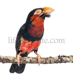 Bearded Barbet on a branch - Lybius dubius