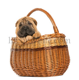 Sharpei puppy in a wicker basket, 11 weeks old, isolated on white