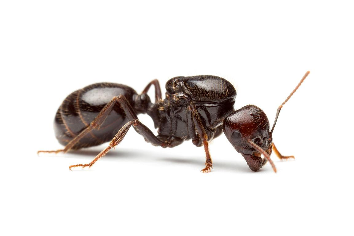 Harvester ant queen