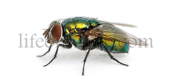 Side view of a Common green bottle fly, Phaenicia sericata, isolated on white