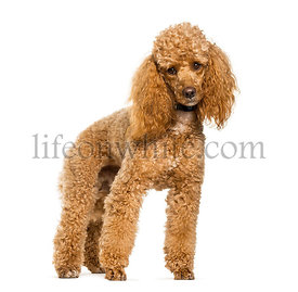 Poodle dog standing against white background