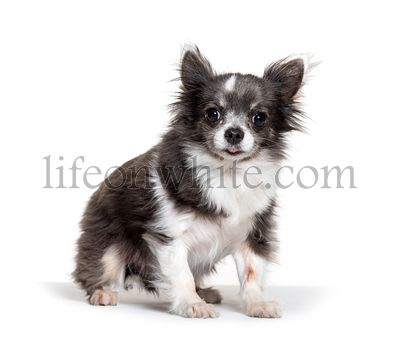 Cute standing Chihuahua, isolated on white