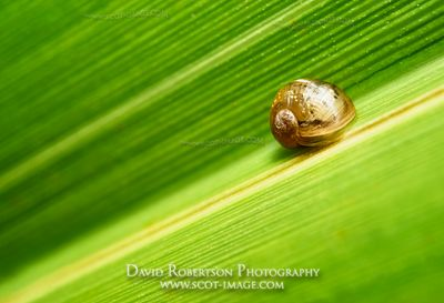 Prints & Stock Image - Small garden snail on green leaf. Clackmannanshire, Scotland.