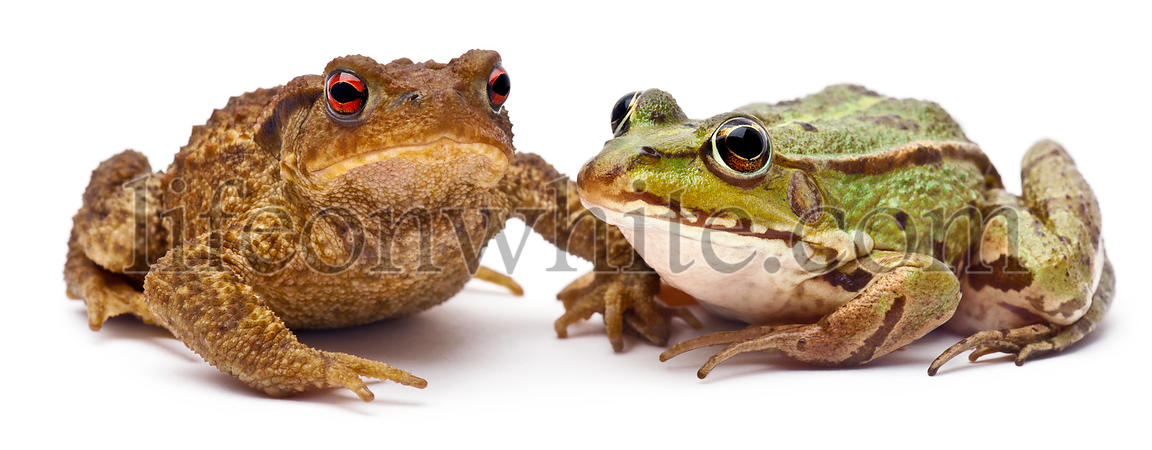 Common European frog or Edible Frog, Rana kl. Esculenta, next to  common toad or European toad, Bufo bufo, in front of white ...