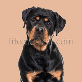 Rottweiler dog sitting against brown background