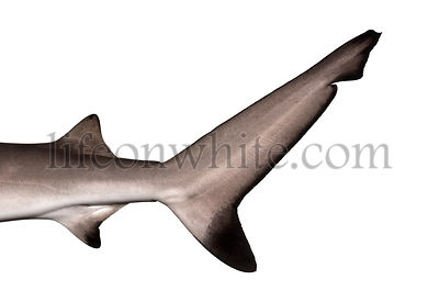 Close-up of a Blacktip reef shark\'s caudal fin, Carcharhinus melanopterus, isolated on white