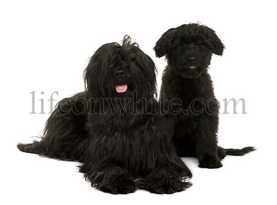 Two Briard dogs, 2 years old and 13 weeks old, sitting