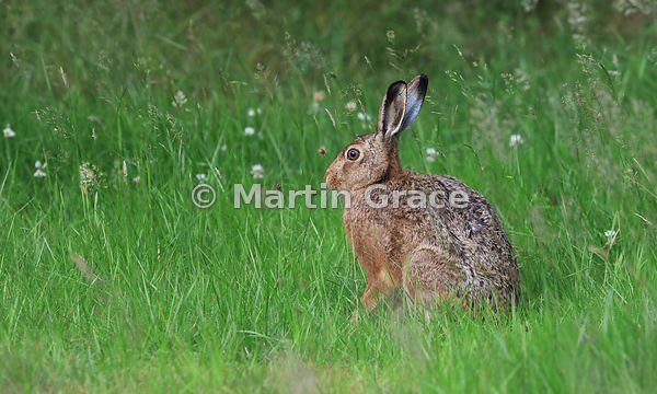 European Brown Hare (Lepus europaeus) in a meadow, Cairngorm National Park, Scotland