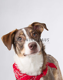 Handsome dog with personality and bandana photographed in the studio