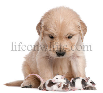 Golden Retriever puppy, 4 weeks old, and mice in front of white background