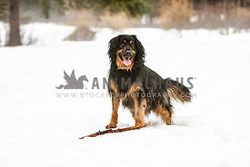 Beautiful black fluffy dog standing in the snow